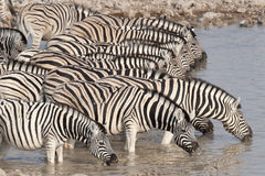 Zebra drinking at a waterhole. Royalty Free Stock Photos
