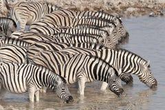 Zebra drinking at a waterhole. Royalty Free Stock Photos
