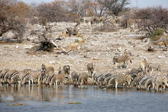 Zebra drinking at a waterhole Royalty Free Stock Photo
