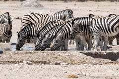 Zebra drinking on waterhole Stock Images