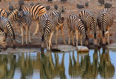 Zebra drinking at waterhole at Etosha National Park. Several zebra drinking at waterhole at Etosha National Park. Namibia. Their silhouettes are visible in the stock images