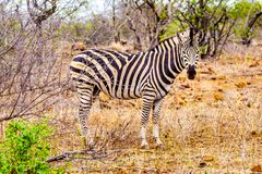 Zebra in the drought stricken savanna area of central Kruger National Park. In South Africa stock photography