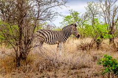 Zebra in the drought stricken savanna area of central Kruger National Park. In South Africa stock image