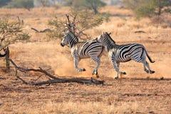 Zebra due Fotografie Stock Libere da Diritti