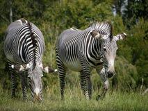 Zebra due Fotografia Stock