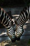 Zebra due che pasce Fotografia Stock