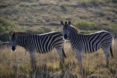 Zebra due su una pianura sudafricana immagine stock