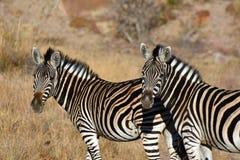 Zebra duet Obrazy Royalty Free