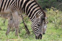Zebra duet w drodze Zdjęcie Stock