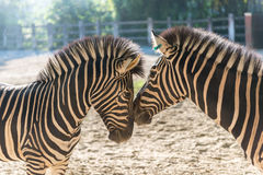 Zebra-Duo Stockbild