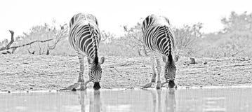 Zebra-Duo Stockbild