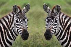 Zebra duo. In the serengeti tanzania stock image