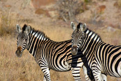 Zebra duo Royalty Free Stock Images