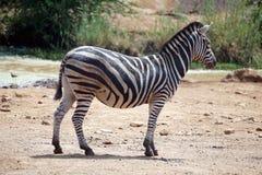Zebra durch eine Wasserstelle Stockfotografie