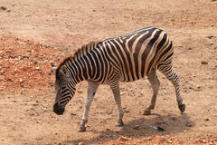 Zebra in dusit zoo Stock Photography