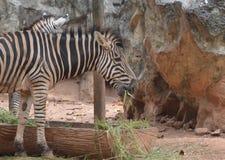 Zebra. In the dusit zoo,thailand Royalty Free Stock Photos