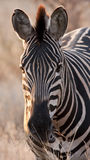 Zebra at dusk in low light eating Stock Photos