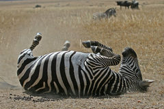Zebra in Dust Royalty Free Stock Photography