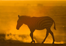 Zebra in the dust against the setting sun. Kenya. Tanzania. National Park. Serengeti. Maasai Mara. Royalty Free Stock Photos