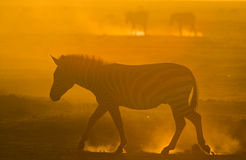 Zebra in the dust against the setting sun. Kenya. Tanzania. National Park. Serengeti. Maasai Mara. Royalty Free Stock Photo