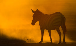 Zebra in the dust against the setting sun. Kenya. Tanzania. National Park. Serengeti. Maasai Mara. Stock Image