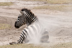Zebra dust bath Royalty Free Stock Images