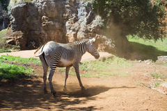 Zebra in dusty ground Royalty Free Stock Image