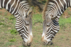 Zebra dwa głowy. Obrazy Stock