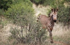 zebra dziecka Obraz Royalty Free
