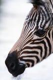 zebra dziecka Fotografia Stock