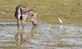 Zebra e airone guardabuoi che prendono una bevanda Immagine Stock Libera da Diritti
