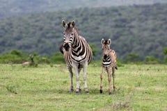 Zebra e gallinacei della madre La Sudafrica Immagine Stock
