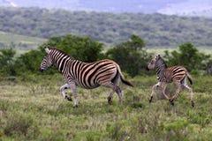 Zebra e gallinacei della madre La Sudafrica Fotografia Stock