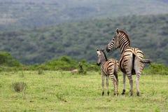 Zebra e gallinacei La Sudafrica Fotografia Stock Libera da Diritti