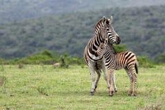 Zebra e gallinacei La Sudafrica Fotografia Stock