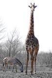 Zebra e girafa Imagem de Stock