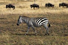 Zebra e gnu Fotos de Stock