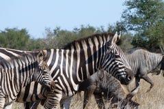 Zebra e gnu Imagens de Stock