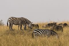 Zebra e gnu che pascono Fotografie Stock