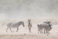 Zebra e gnu na poeira de Kenya imagens de stock
