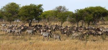 Zebra e gnu su migrazione Fotografie Stock Libere da Diritti