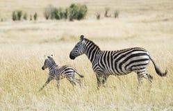 Zebra e jovens Fotografia de Stock Royalty Free