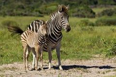 Zebra e jovens Foto de Stock