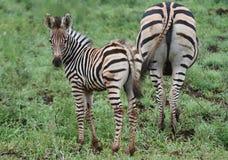 Zebra e mamma Immagine Stock