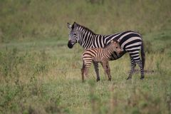 Zebra e potro fotografia de stock