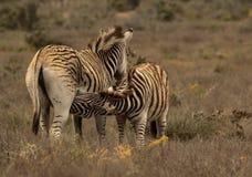 Zebra e potro Foto de Stock