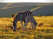 Zebra e potro da mãe no por do sol Fotos de Stock Royalty Free