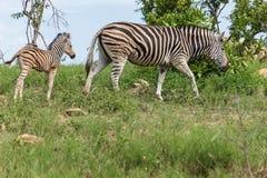 Zebra e vitela fotografia de stock