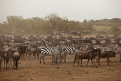 Zebra e wildebeest Fotos de Stock