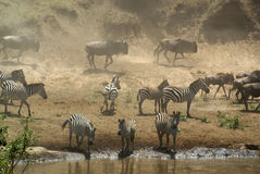 Zebra e Wildebeest al fiume di Mara, Kenia Fotografie Stock